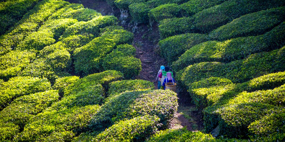 why make the switch to organic tea